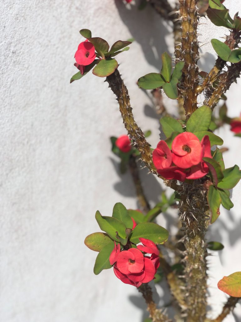 Fleurs grimpantes lifou