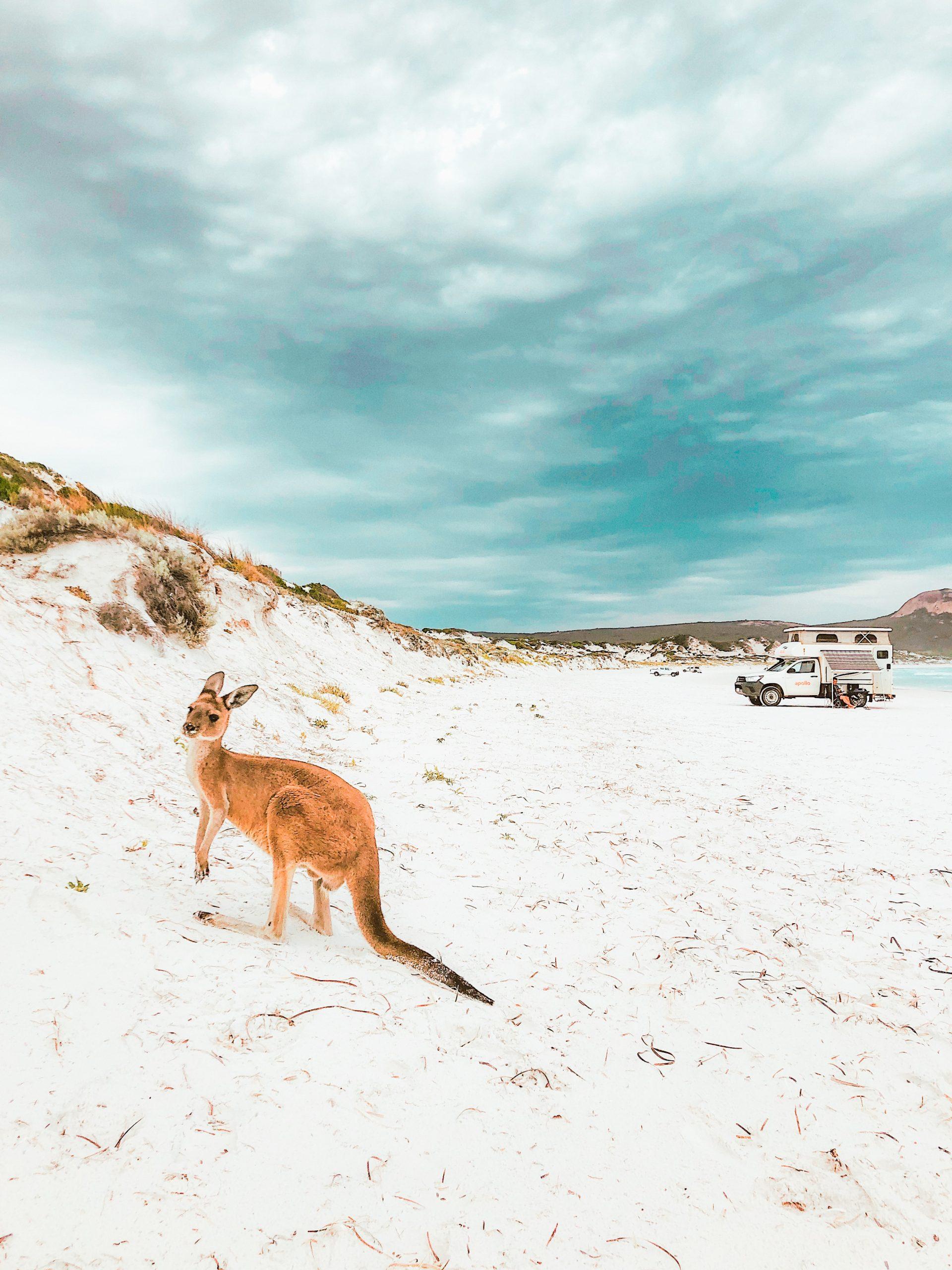 Kangourous sauvages sur la plage de lucky bay esperance, australie